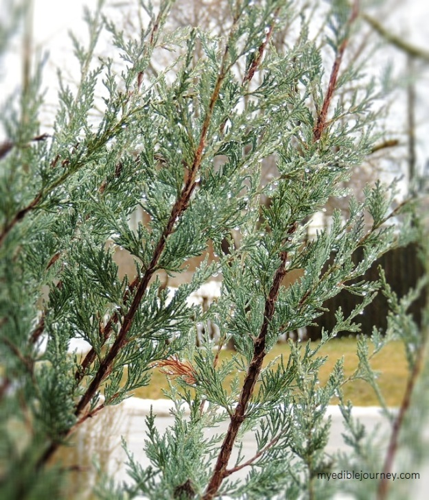Rain drops on Juniper from myediblejourney.com