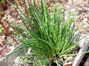 Chives from My Edible Journey via @Mama_B