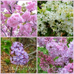 Blossoms at the lilac garden via myediblejourney.com