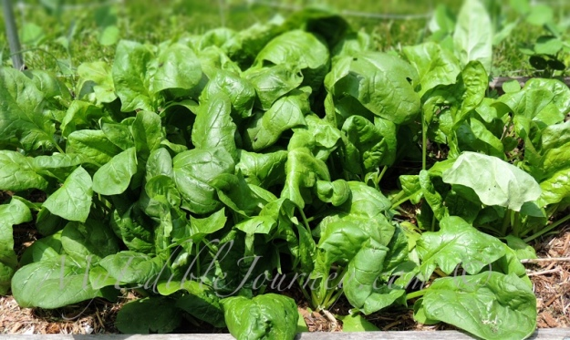 Spinach   My Edible Journey