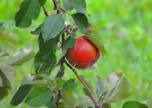 Apple on the tree |My Edible Journey